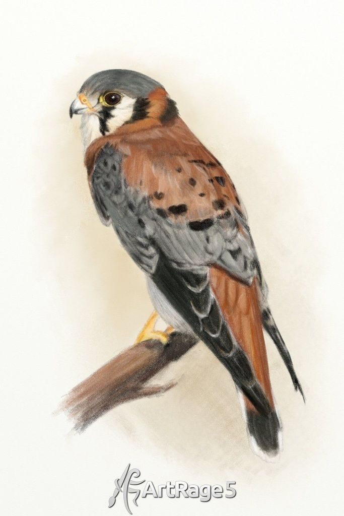 drawing of kestrel